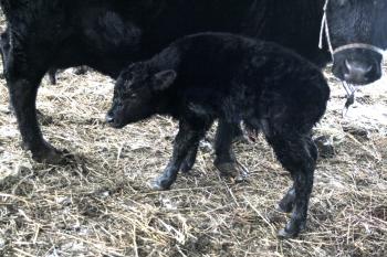 new bull calf Ellies