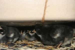 "chicks under my DIY ""ecoglow""-style brooder"